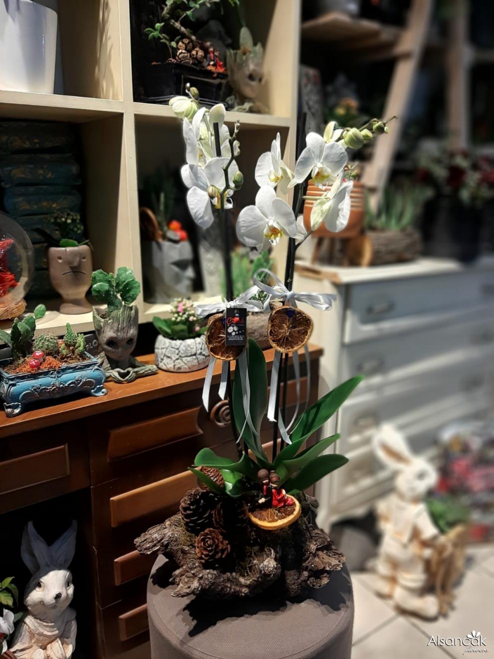 Volkanik Kaya Orkide