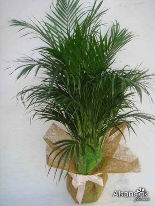 Areka Palm.