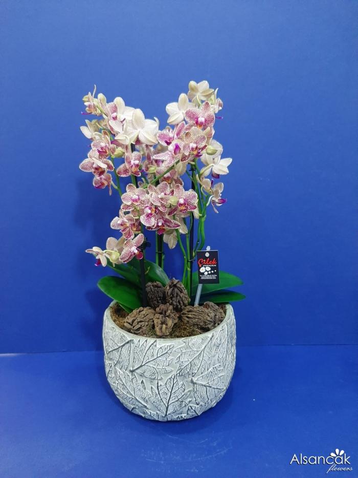 Multi Orkide
