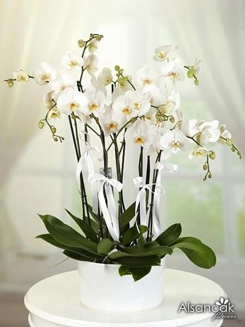 8 Dal Orkide