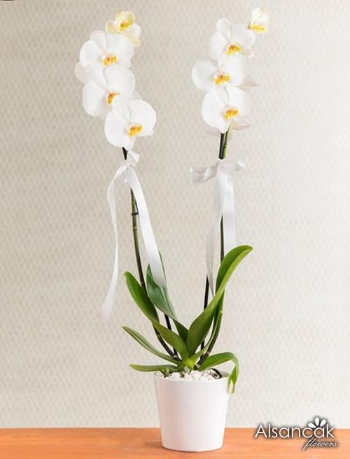 İki Dal Orkide