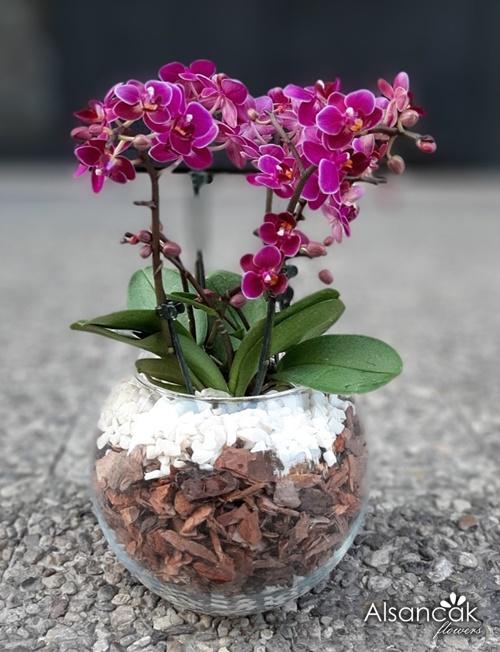 Fanusta Mini Orkideler